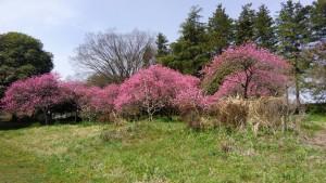 古河公方公園の桃林